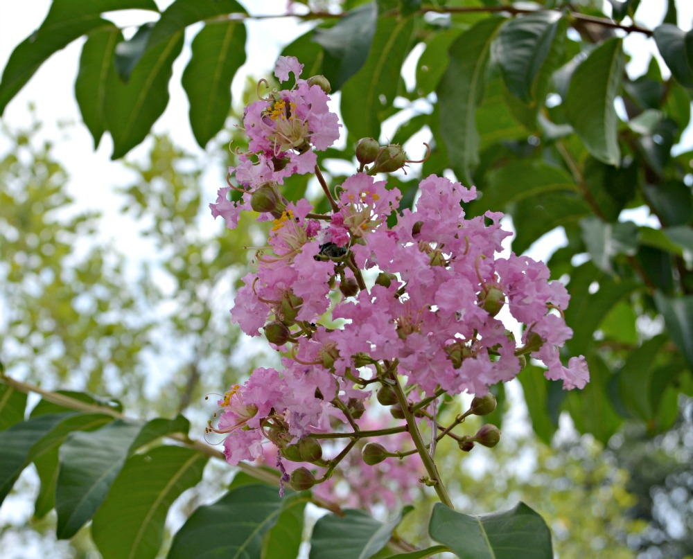 Pink Crepe Myrtle Bloom