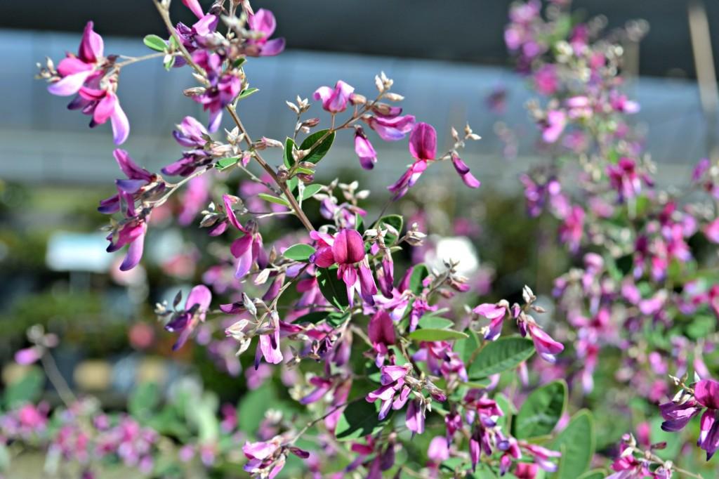 lespedeza flowers