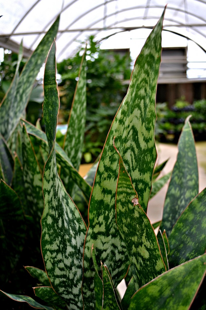 snake plant spikes
