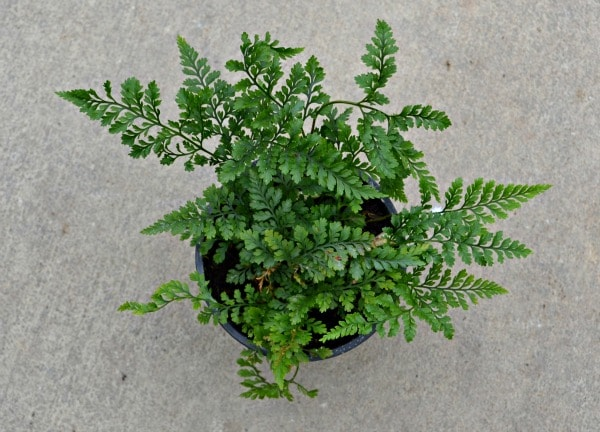 rabbits foot fern
