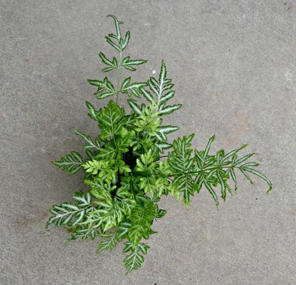 silver lace fern
