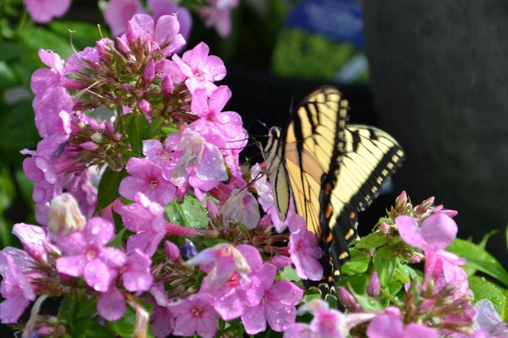 butterfly phlox