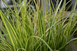 carex eversheen close