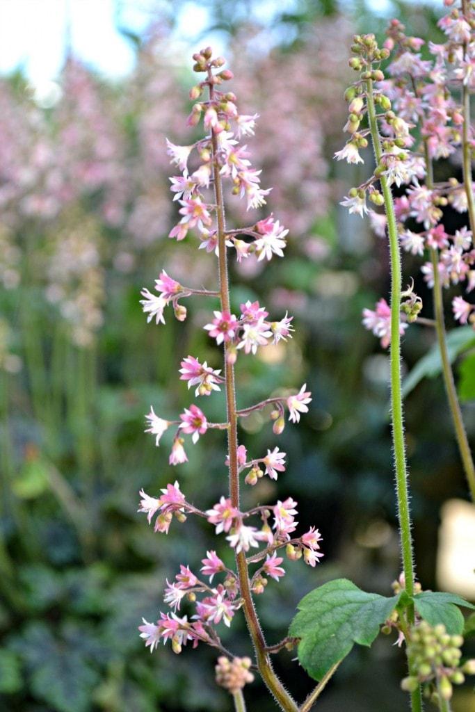 heucherella tapestry flower