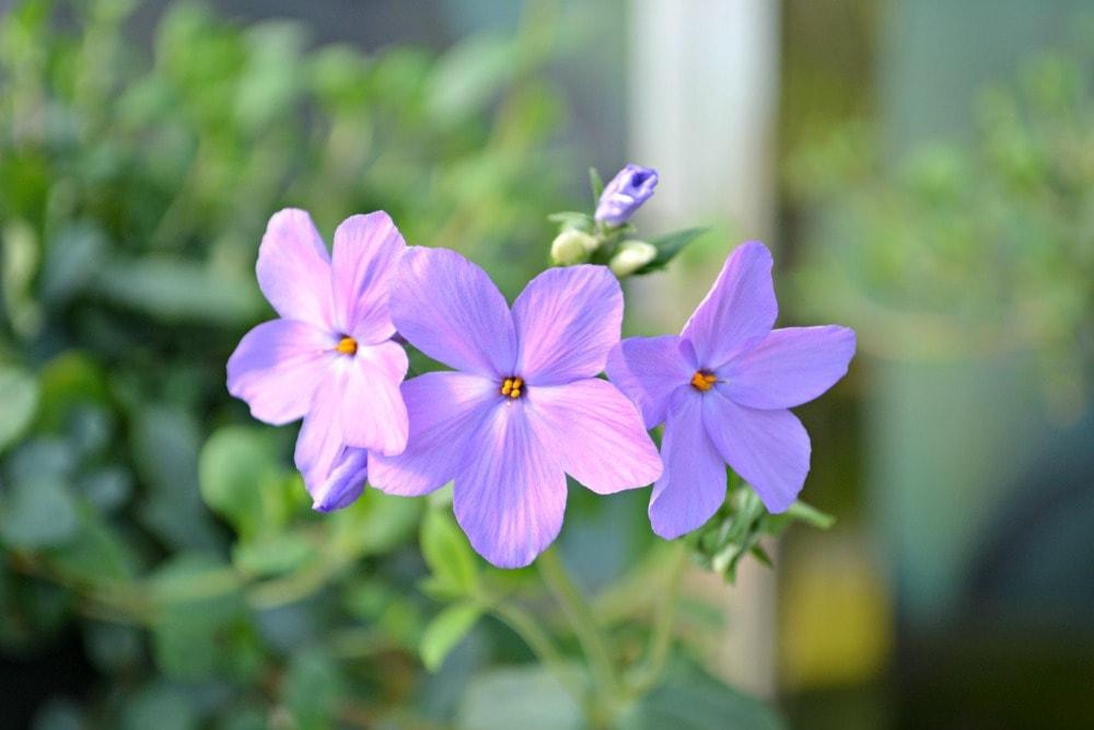 sherwood purple woodland phlox flower