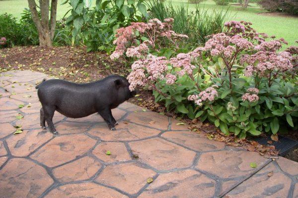 Condi the Pig