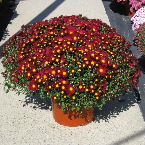 Mums raleigh fall plants in nc fairview garden center garden mums mightylinksfo
