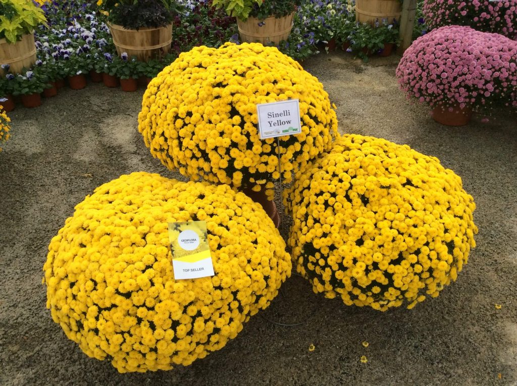 mums and mum care fairview garden center - Garden Mum
