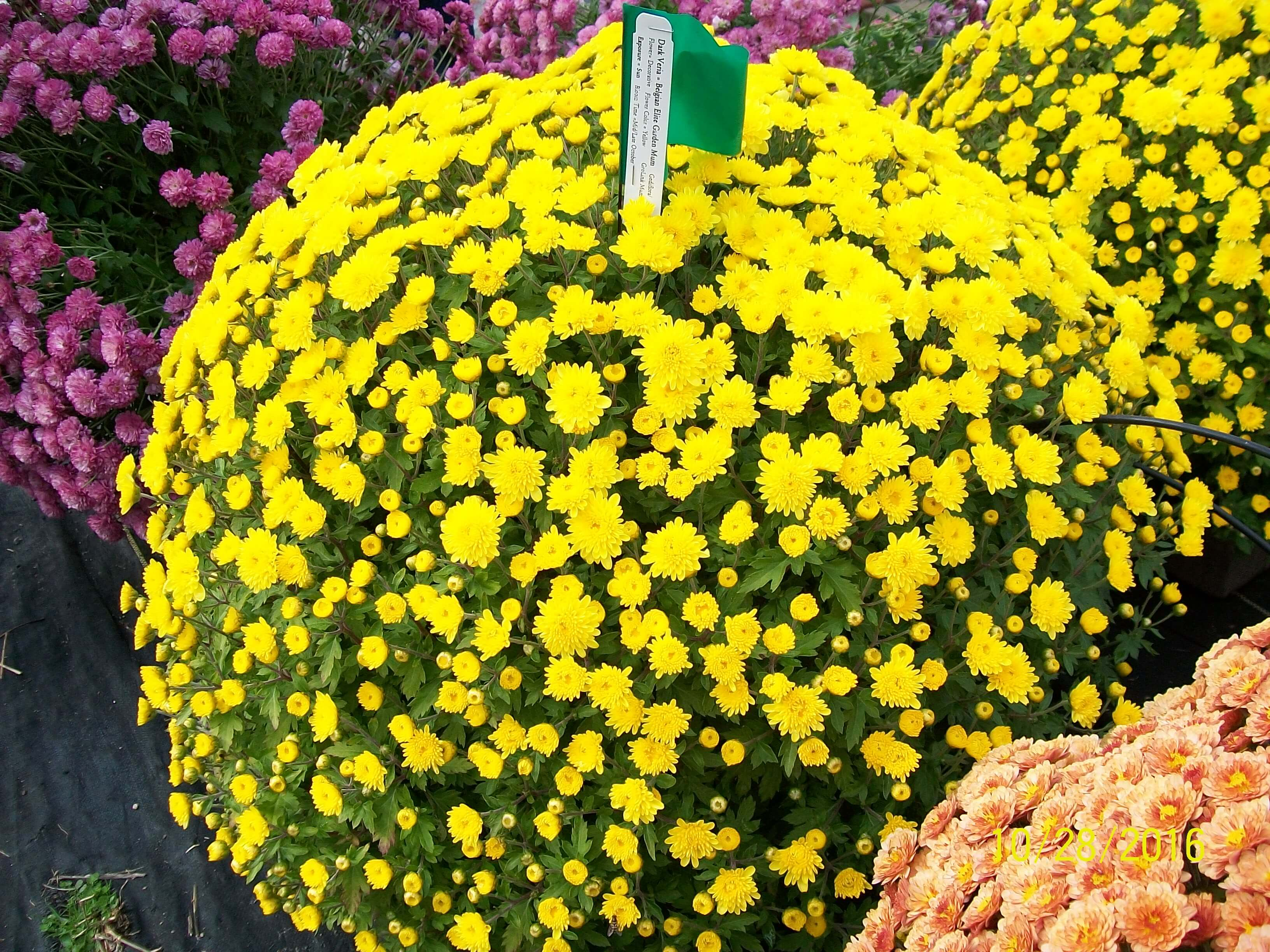 click to enlarge - Garden Mum