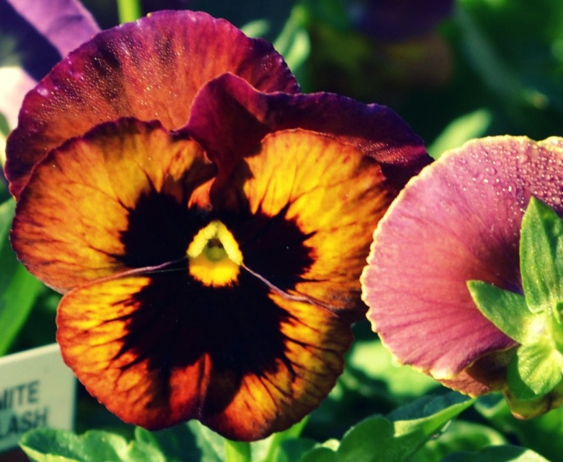Wine Flash Pansy