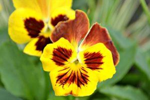 Orange and Yellow Violas
