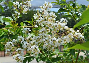 Natchez Crepe Myrtle in Bloom
