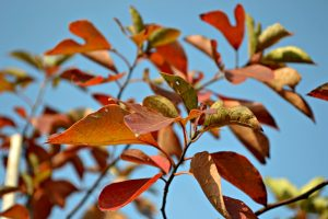 Crepe Myrtle in Fall
