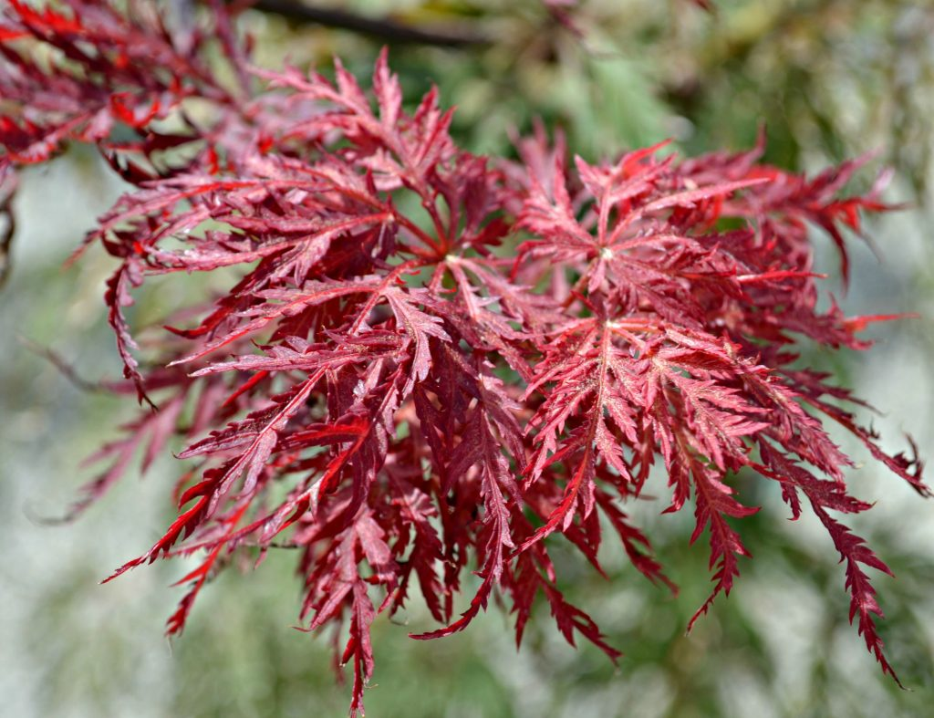 japanese-maple-red