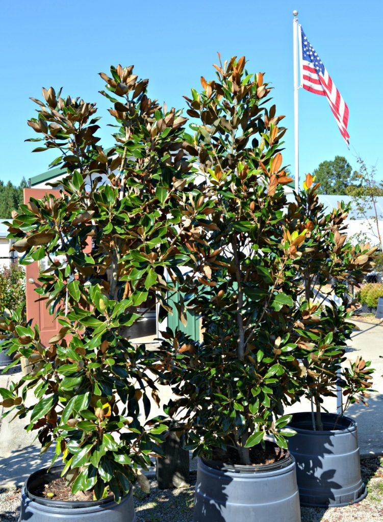 little-gem-magnolia