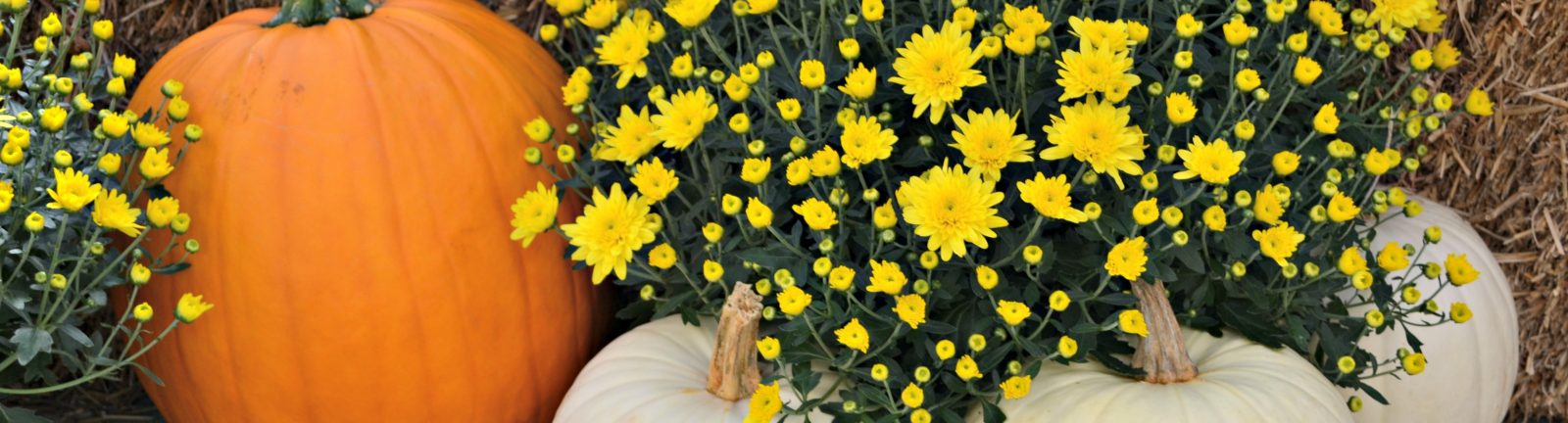 yellow mums and pumpkins