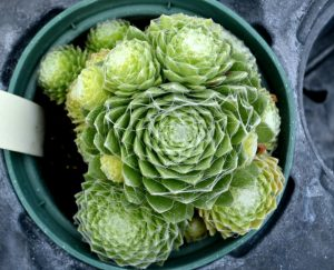 hen-and-chicks-2