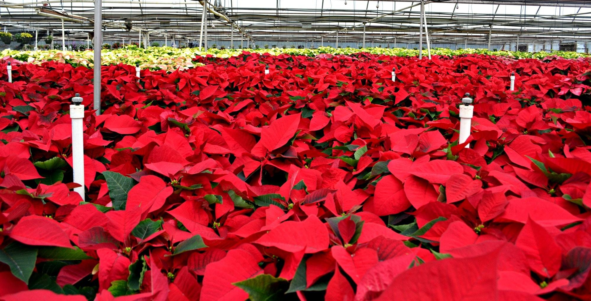 Poinsettias Raleigh Nc Fairview Garden Center
