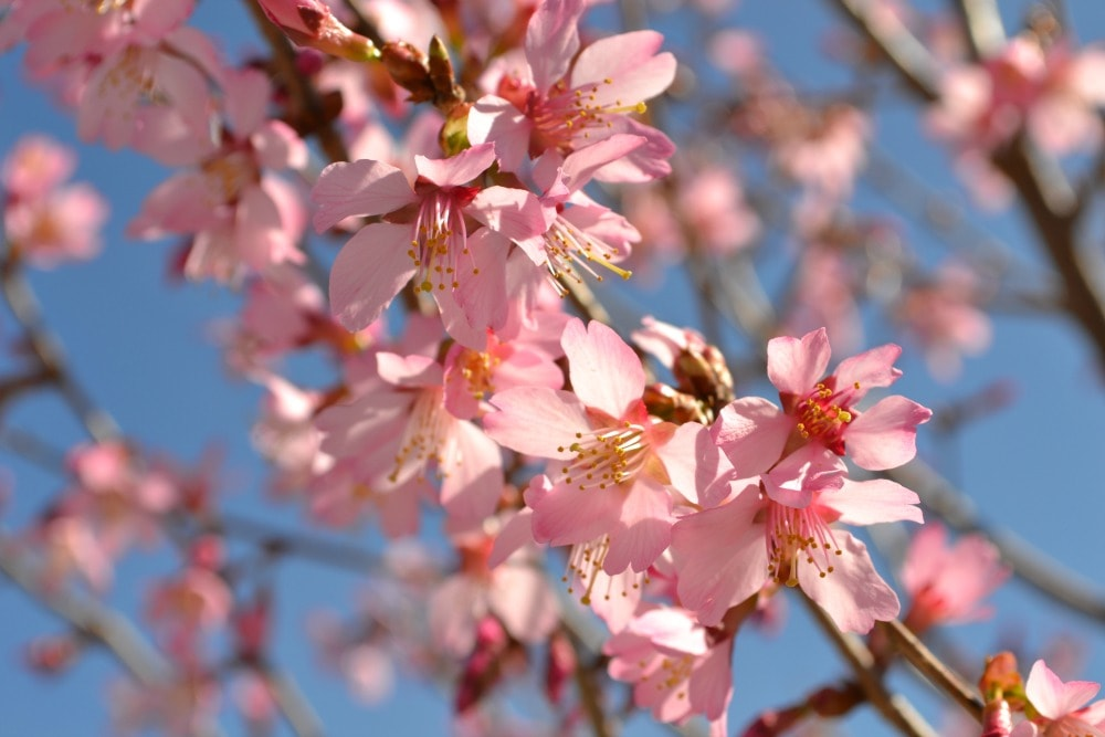 the okame is a fast growing variety of cherry that will perform well even in the coastal south the okame can grow 20 u2013 25u0027 h x 15u0027w in full sun and - Pink Trees