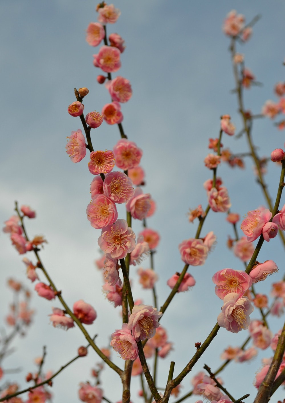 one of the very first blooms we see are that of the japanese flowering apricot these trees often flower in midfebruary when the outdoor temps are still - Pink Trees