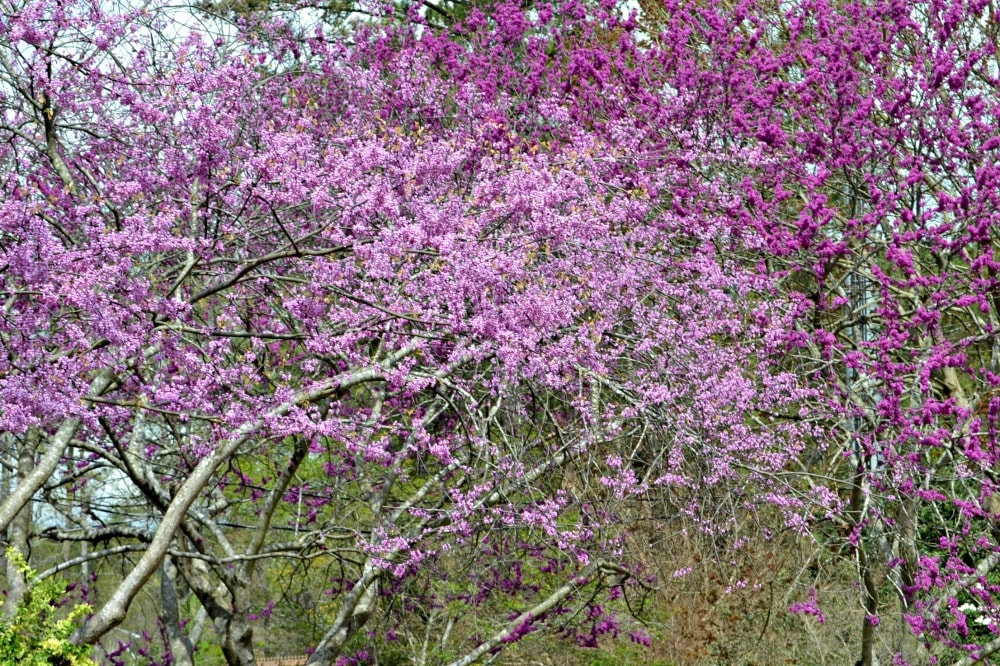 these native trees provide the splashes of purple and pink that dot the wood lines as you drive along many roads in the piedmont region of north carolina - Pink Trees