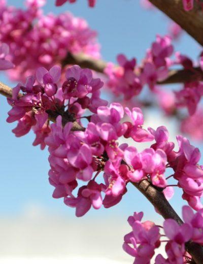 redbud flower