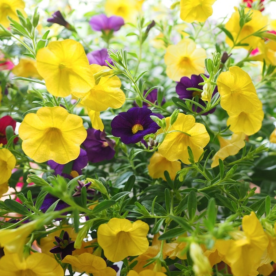Annuals raleigh nc annual plants for sale at fairview izmirmasajfo Image collections
