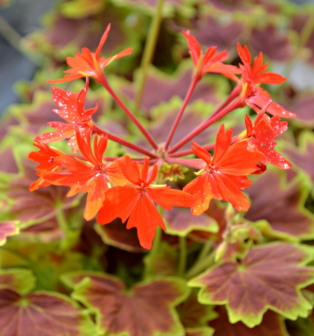 Martha Washington Geraniums Care: Fairview Garden Center