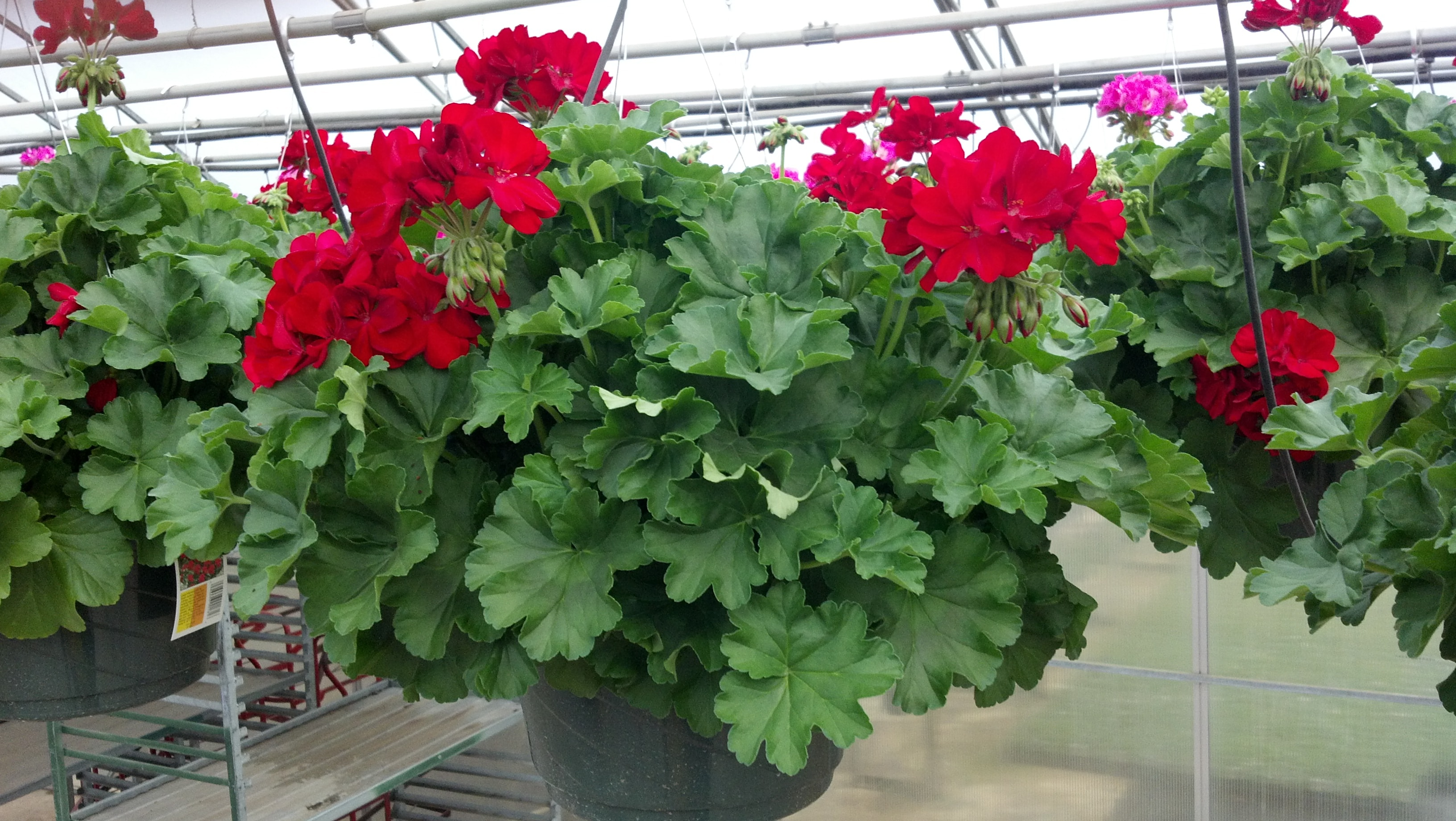 Geraniums fairview garden center - How to care for ivy geranium ...
