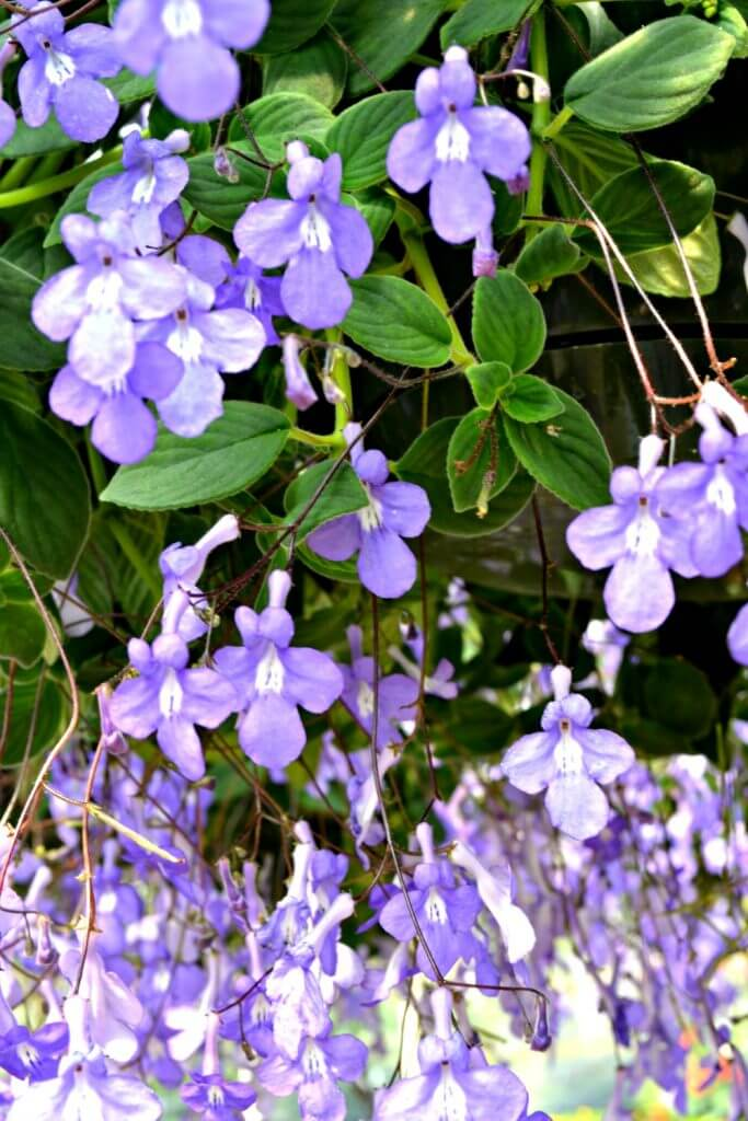 Hanging Basket Flowers Part Shade : Top hanging baskets for shade fairview garden center
