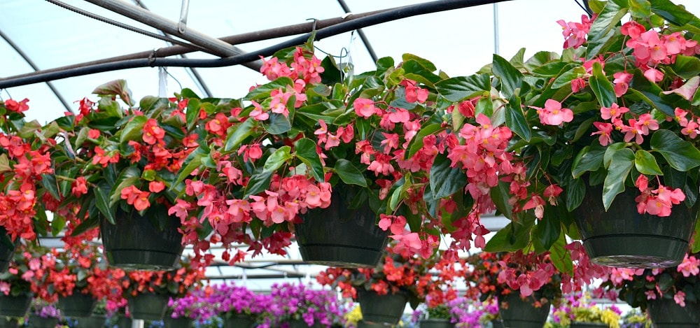Top 5 Hanging Baskets For Full Sun Fairview Garden Center