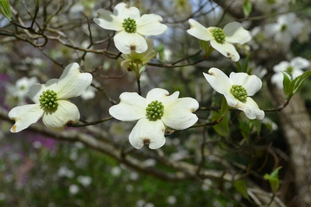 Dogwood Fairview Garden Center Raleigh Nc