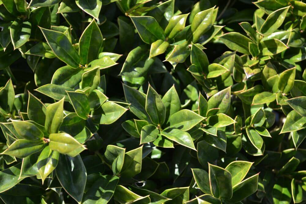 Holly fairview garden center for Hearty low maintenance plants