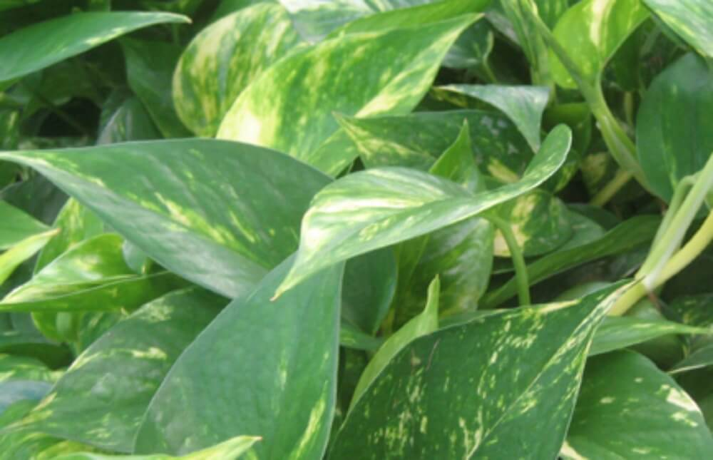 Great Foliage Plants That Are A Favorite For Trailing Or Climbing With  Heart Shaped Leaves.